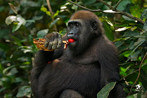 Western lowland gorilla (Gorilla gorilla gorilla) juvenile male 'Mobangi' aged 5 years feeding on fruit while holding a piece of rotting wood which he will eat later, Bai Hokou, Dzanga Sangha Special... - Anup Shah