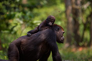 Western lowland gorilla (Gorilla gorilla gorilla) female 'Mopambi' carrying her infant 'Sopo' aged 18 months on her back walking through Bai Hokou, Dzanga Sangha Special Dense Forest Reserve, Central...  -  Anup Shah