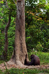 Western lowland gorilla (Gorilla gorilla gorilla) female 'Malui' feeding on rotting wood from a hole in a tree, Bai Hokou, Dzanga Sangha Special Dense Forest Reserve, Central African Republic. Decembe...  -  Anup Shah