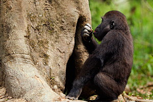 Western lowland gorilla (Gorilla gorilla gorilla) juvenile male 'Tembo' aged 4 years reaching into a hole in a tree for rotting wood to feed on, Bai Hokou, Dzanga Sangha Special Dense Forest Reserve,... - Anup Shah