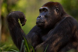 Western lowland gorilla (Gorilla gorilla gorilla) sub-adult male 'Kunga' aged 13 years looking at his hand, Bai Hokou, Dzanga Sangha Special Dense Forest Reserve, Central African Republic. December 20... - Anup Shah