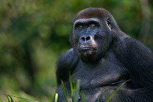 Western lowland gorilla (Gorilla gorilla gorilla) sub-adult male 'Kunga' aged 13 years head and shoulders portrait, Bai Hokou, Dzanga Sangha Special Dense Forest Reserve, Central African Republic. Dec...  -  Anup Shah