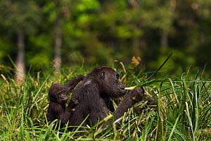 Western lowland gorilla (Gorilla gorilla gorilla) female 'Mopambi' carrying her infant 'Sopo' aged 18 months on her back feeding on sedge grasses in Bai Hokou, Dzanga Sangha Special Dense Forest Reser...  -  Anup Shah