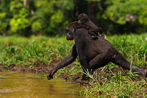 Western lowland gorilla (Gorilla gorilla gorilla) female 'Mopambi' carrying her infant 'Sopo' aged 18 months on her back crossing a river in Bai Hokou, Dzanga Sangha Special Dense Forest Reserve, Cent... - Anup Shah