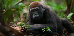 Western lowland gorilla (Gorilla gorilla gorilla) juvenile male 'Mobangi' aged 5 years feeding on termites from a nest he has broken open, Bai Hokou, Dzanga Sangha Special Dense Forest Reserve, Centra...  -  Anup Shah