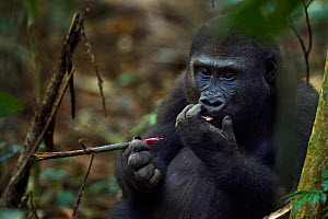 Western lowland gorilla (Gorilla gorilla gorilla) juvenile male 'Tembo' aged 4 years stripping the bark of a spiny branch to feed on the core, Bai Hokou, Dzanga Sangha Special Dense Forest Reserve, Ce...  -  Anup Shah