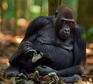 Western lowland gorilla (Gorilla gorilla gorilla) female 'Mopambi' sitting with her playful infant 'Sopo' aged 18 months, Bai Hokou, Dzanga Sangha Special Dense Forest Reserve, Central African Republi... - Anup Shah