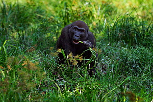Western lowland gorilla (Gorilla gorilla gorilla) sub-adult female 'Mosoko' aged 8 years feeding on sedge grasses in Bai Hokou, Dzanga Sangha Special Dense Forest Reserve, Central African Republic. No...  -  Anup Shah