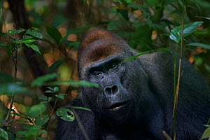 Western lowland gorilla (Gorilla gorilla gorilla) dominant male silverback 'Makumba' aged 32 years peering through vegetation, Bai Hokou, Dzanga Sangha Special Dense Forest Reserve, Central African Re...  -  Anup Shah