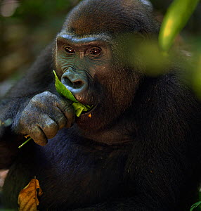 Western lowland gorilla (Gorilla gorilla gorilla) sub-adult female 'Mosoko' aged 8 years feeding on fruit, Bai Hokou, Dzanga Sangha Special Dense Forest Reserve, Central African Republic. December 201...  -  Anup Shah