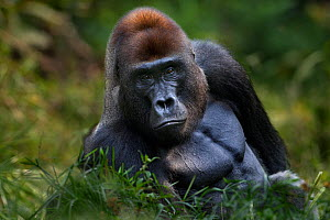 Western lowland gorilla (Gorilla gorilla gorilla) dominant male silverback 'Makumba' aged 32 years sitting in Bai Hokou, Dzanga Sangha Special Dense Forest Reserve, Central African Republic. December... - Fiona Rogers