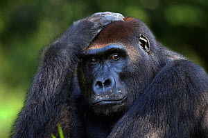 Western lowland gorilla (Gorilla gorilla gorilla) sub-adult male 'Kunga' aged 13 years head and shoulders portrait, Bai Hokou, Dzanga Sangha Special Dense Forest Reserve, Central African Republic. Dec... - Fiona Rogers