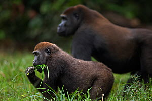 Western lowland gorilla (Gorilla gorilla gorilla) juvenile male 'Mobangi' aged 5 years standing with sub-adult male 'Kunga' aged 13 years in Bai Hokou, Dzanga Sangha Special Dense Forest Reserve, Cent... - Fiona Rogers