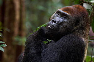 Western lowland gorilla (Gorilla gorilla gorilla) dominant male silverback 'Makumba' aged 32 years head and shoulders portrait, Bai Hokou, Dzanga Sangha Special Dense Forest Reserve, Central African R... - Fiona Rogers