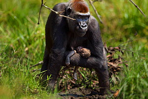 Western lowland gorilla (Gorilla gorilla gorilla) female 'Malui' carrying her stillborn infant in her arms, Bai Hokou, Dzanga Sangha Special Dense Forest Reserve, Central African Republic. December 20...  -  Fiona Rogers