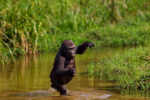 Western lowland gorilla (Gorilla gorilla gorilla) juvenile male 'Tembo' aged 4 years crossing a river bi-pedally, Bai Hokou, Dzanga Sangha Special Dense Forest Reserve, Central African Republic. Decem...  -  Fiona Rogers
