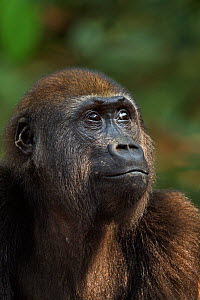 Western lowland gorilla (Gorilla gorilla gorilla) juvenile male 'Mobangi' aged 5 years head and shoulders portrait, Bai Hokou, Dzanga Sangha Special Dense Forest Reserve, Central African Republic. Dec...  -  Fiona Rogers