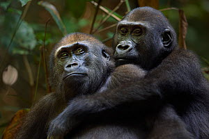 Western lowland gorilla (Gorilla gorilla gorilla) juvenile males 'Mobangi' aged 5 years and 'Tembo' aged 4 years playing together, Bai Hokou, Dzanga Sangha Special Dense Forest Reserve, Central Africa... - Fiona Rogers