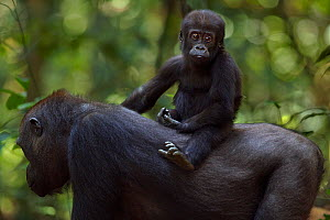 Western lowland gorilla (Gorilla gorilla gorilla) infant 'Sopo' aged 18 months riding on his mother 'Mopambi's' back, Bai Hokou, Dzanga Sangha Special Dense Forest Reserve, Central African Republic. D...  -  Fiona Rogers