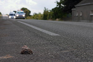 Little owl (Athene noctua) dead on the road with cars behind, France - Eric Medard