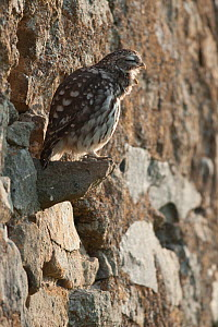 Little owl (Athene noctua) during the day on a wall, coughing up a pellet, France, October  -  Eric Medard