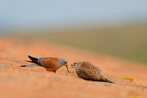 Lesser kestrel (Falco naumanni) on the roof of a sheepfold. Male offering female a lizard before mating, Spain  -  Eric Medard