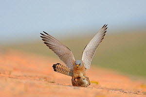 Lesser kestrel (Falco naumanni) male and female mating on building roof, Spain, May  -  Eric Medard