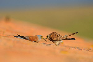 Lesser kestrel (Falco naumanni) male gives a cockroach to the female, pre-mating gift, part of courtship, Spain, May  -  Eric Medard
