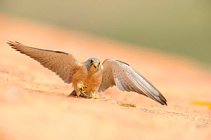 Lesser kestrel (Falco naumanni) male arrives with a lizard to give to female as pre-mating gift, part of courtship, Spain, May  -  Eric Medard