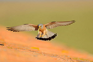Lesser kestrel (Falco naumanni) male flies in with lizard in beak, as pre-mating gift for female, part of courtship, Spain, May  -  Eric Medard