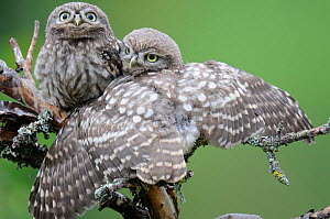 Little owl (Athene noctua) young owlets stretching wings in the rain, France, July  -  Eric Medard