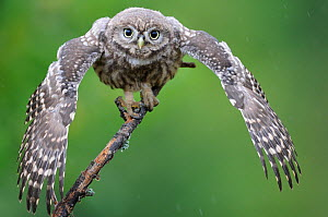 Little owl (Athene noctua) young owlet stretching wings in the rain, France, July  -  Eric Medard