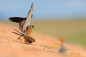 Lesser kestrel (Falco naumanni) male and female mating on top of roof, Spain, April  -  Eric Medard