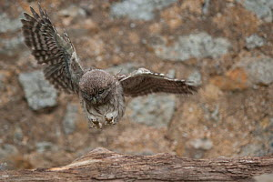 Little owl (Athene noctua) chick taking first flight, learning to fly, France, June  -  Eric Medard