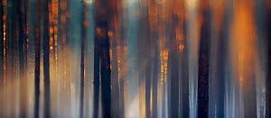 Scots Pine trees (Pinus sylvestris) in evening sunlight. January. Specially commended, Creative Visions category, Wildlife Photographer of the Year (WPY) 2012 competition.  -  Sandra Bartocha