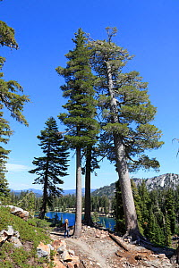 Ponderosa pines trees (Pinus ponderosa) Lassen Volcanic National Park, California, USA  -  Mark Taylor