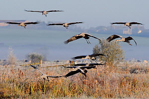 Flock of Juvenile Common / Eurasian cranes (Grus grus) recently released by the Great Crane Project onto the Somerset Levels flying in to land on a marshy area surrounded by pastureland on a frosty, m...  -  Nick Upton