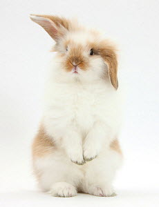 Young fluffy rabbit standing up.  -  Mark Taylor