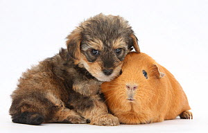Yorkipoo (Yorkshire terrier x Poodle cross breed)puppy, 6 weeks, with Guinea pig. NOT AVAILABLE FOR BOOK USE  -  Mark Taylor