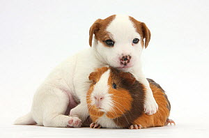 Jack Russell Terrier puppy, 4 weeks and Guinea pig. NOT AVAILABLE FOR BOOK USE  -  Mark Taylor
