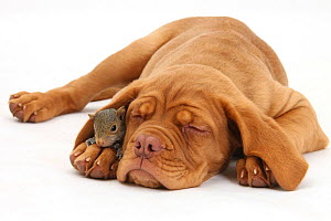 Dogue de Bordeaux puppy, Freya, 10 weeks, sleeping with Grey Squirrel under her ear. NOT AVAILABLE FOR BOOK USE  -  Mark Taylor