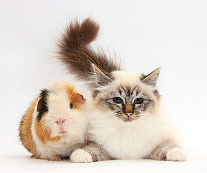 Tabby point Birman cat and Guinea pig, Gyzmo. NOT AVAILABLE FOR BOOK USE  -  Mark Taylor