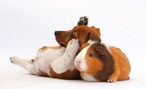 Jack Russell Terrier x Chihuahua puppy, Nipper, with a Guinea pig. NOT AVAILABLE FOR BOOK USE  -  Mark Taylor