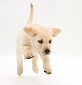 Yellow Labrador Retriever puppy, 8 weeks running.  -  Mark Taylor