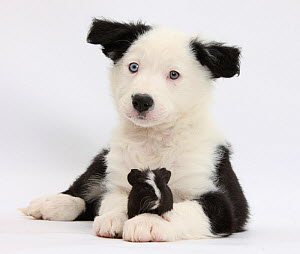 Black and white Border Collie puppy and Guinea pig. NOT AVAILABLE FOR BOOK USE  -  Mark Taylor