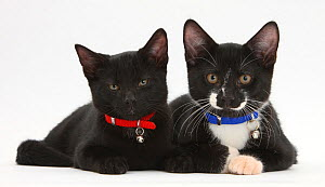 Black, and Black and white tuxedo male kittens, Tuxie and Buxie, 3 months lying together, wearing collars and bells.  -  Mark Taylor