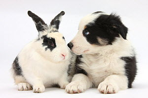 Tricolour Border Collie puppy Basil, 8 weeks, with black and white rabbit. NOT AVAILABLE FOR BOOK USE  -  Mark Taylor