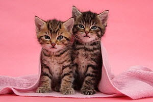 Tabby kittens, Stanley and Fosset, 6 weeks, under a pink scarf. - Mark Taylor