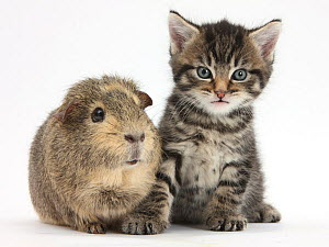 Cute tabby kitten, Fosset, 5 weeks, with a Guinea pig. NOT AVAILABLE FOR BOOK USE  -  Mark Taylor
