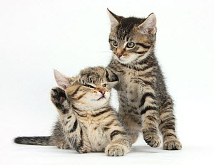 Cute tabby kittens, Stanley and Fosset, 9 weeks.  -  Mark Taylor